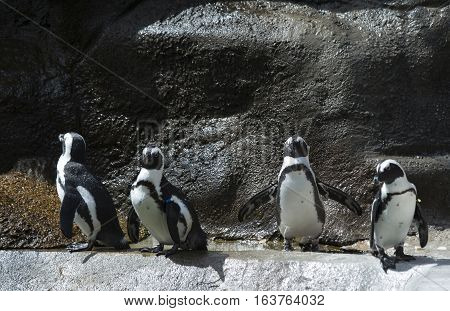 African penguin, also called the black-footed penguin, colony