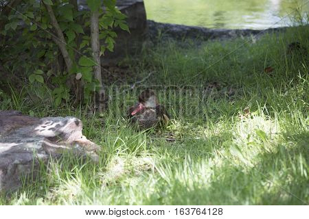 Red-billed teal ducks resting in the distance