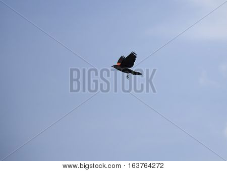 Red-winged blackbird in flight high in the sky