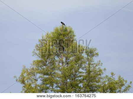 Red-winged blackbird perched at the top of a tree