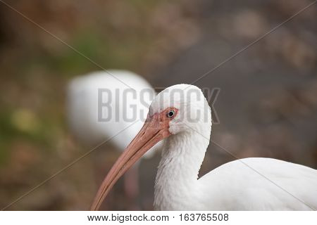Close up of a white ibis (Eudocimus albus)