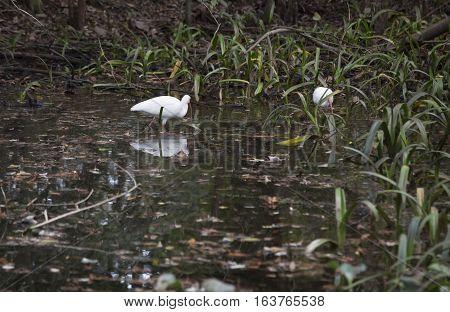 White ibis (Eudocimus albus) in a swamp