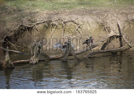 Wood ducks lined up on a branch