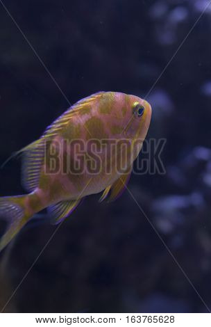 Close up of a blotched anthias (Odontanthias borbonius) swimming