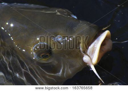 Close up of catfish surfacing at the top of a pond