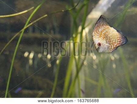 Orange pigeon blood discus fish (Symphysodon discus) in an aquarium
