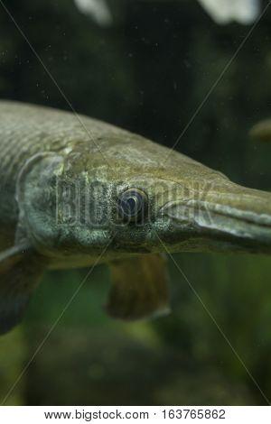 Close up of an alligator gar (Atractosteus spatula)