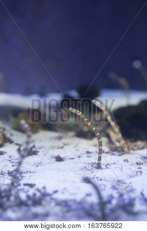 Orange-barred garden eels (Gorgasia preclara) in an aquarium