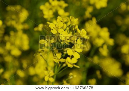 Yellow Flowers Of Winter Cress Or Rapeseed