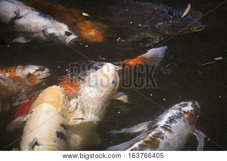Koi (Cyprinus carpio), also called nishikigoi, fighting for food on the surface