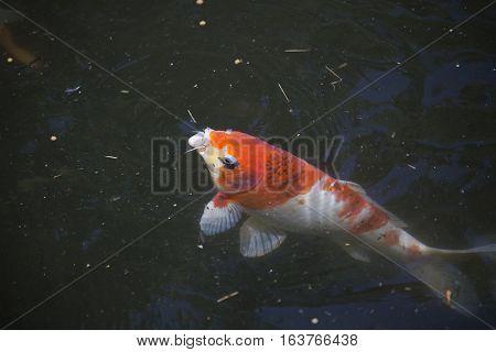 Koi (Cyprinus carpio), also called nishikigoi, swimming toward food pellets at the top of the water