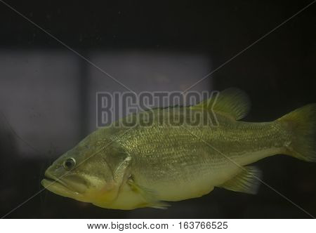 Close up of a large mouth bass (Micropterus salmoides) in a dirty aquarium