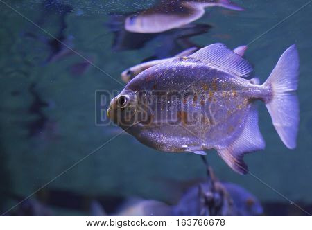 Close up of a red-bellied piranha (Pygocentrus nattereri)