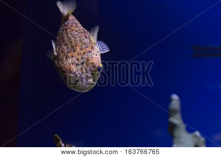 Close up of a pufferfish against a deep blue background