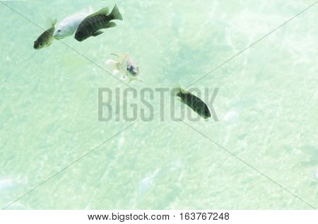 Five Zambezi River fish swimming in freshwater