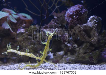 Close up of two sea dragons with a natural background