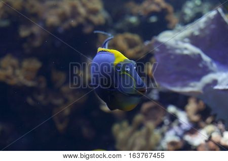 Blonde naso tang (Naso elegans) fish swimming