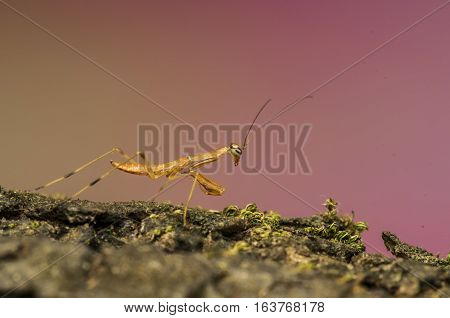 yellow praying mantis on the green grass in field, praying mantis macro shot natural background