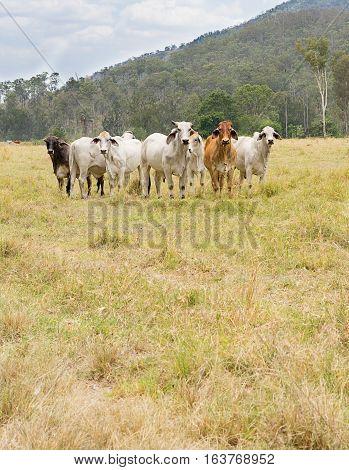 Seven Cows
