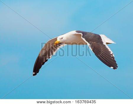Ocean seagull in flight isolated on blue sky background.