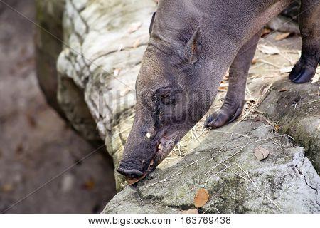 Close up of a babirusa (Buru babirusa) also called a deer-pig