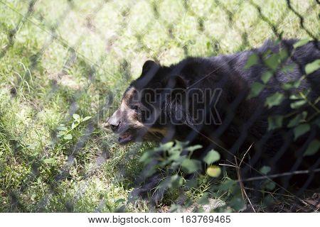 Andean bear (Ursus ornatus) inside a fence