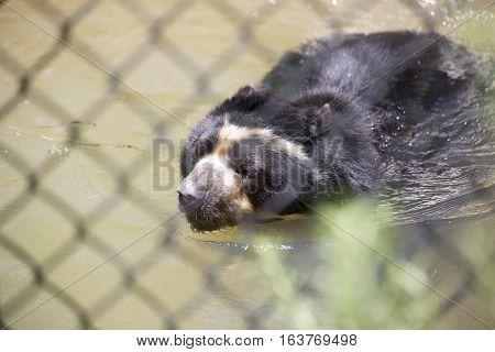 Andean bear (Ursus ornatus) swimming in murky water