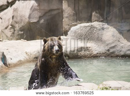 Brown bear (Ursus arctos) getting out of the water
