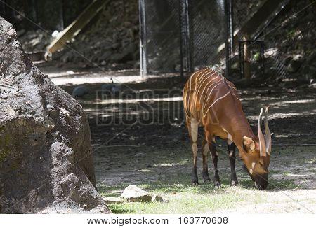 Bongo (Tragelaphus eurycerus) grazing in a field