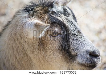 Close up of a tan and black goat