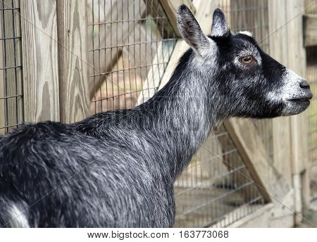 Close up of a gray and black goat