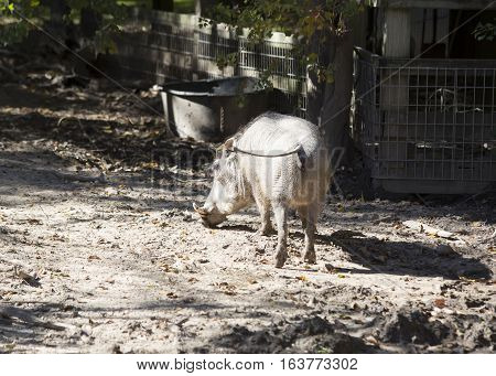Common warthog walking away through the mud