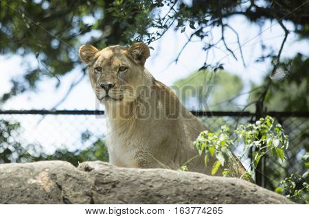 Lioness looking down watchfully from a rock