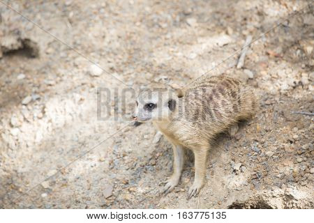 A watchful meerkat ready to scurry from danger