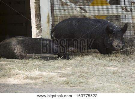 Black farm pig in a feeding area