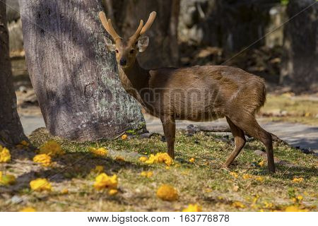 male Eld's deer Thamin Brow-antlered deer in field poster