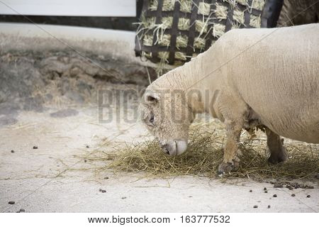 Happy farm sheep grazing on feed hay