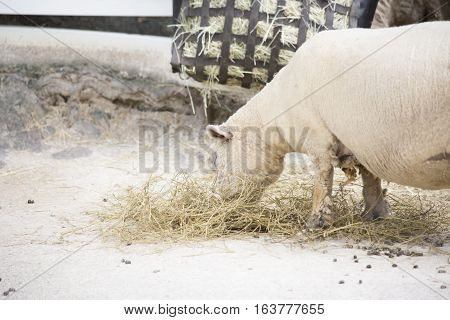 Close up of farm sheep grazing on hay