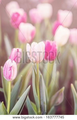 Pastels color of tulips. colorful tulips in the garden selected focus.