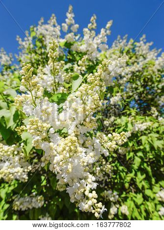 Blossoming branch of a white lilac close-up. Natural background made of white lilac flowers and blue sky. Green branch with spring lilac flowers and bright blue sky