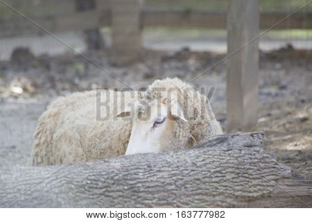 A sheep hiding shyly behind a log