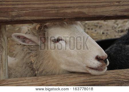 Sheep head poking through a wooden fence