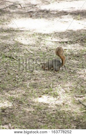 Squirrel retrieving a buried acorn from the ground