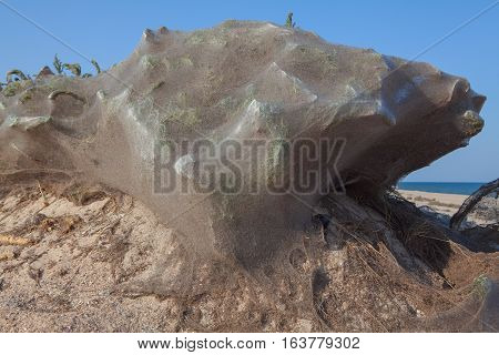 plants covered with spider web on the sand