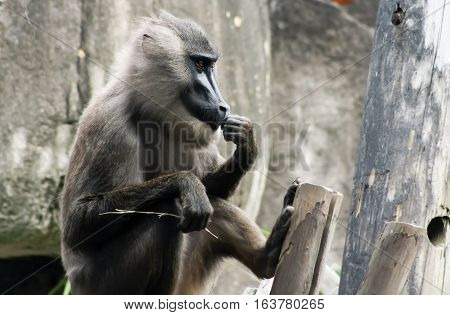 Content baboon (Papio anubis) staring thoughtfully ahead