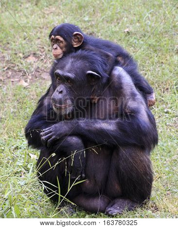 Baby chimp hanging on adult chimp's shoulders