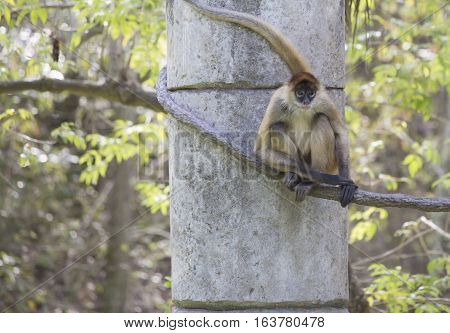 Geoffroy's spider monkey climbing along a rope