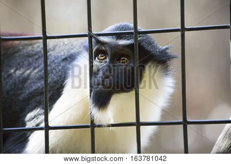 Diana monkey guenon staring through the bars of a cage
