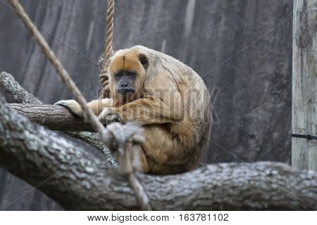 Female howler monkey playing on a branch