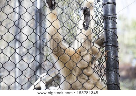 Lar gibbon also known as a white-handed gibbon hanging on cage fence